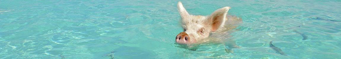 Segeltörn Bahamas Bild zeigt ein schwimmendes Schwein