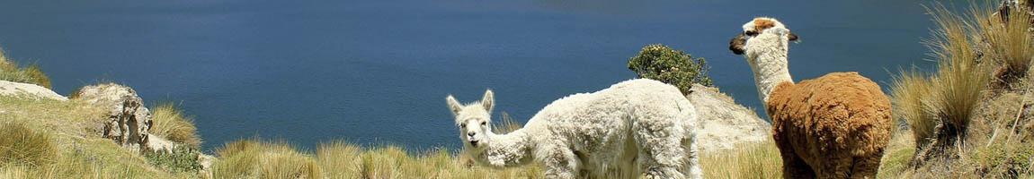 Segeltörn Ecuador zeigt Alpacas