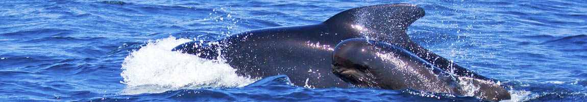 Segeltörn Gibraltar Bild zeigt Pilotwale