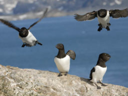 Arktischer Frühling Bild zeigt Pinguine auf Spitzbergen