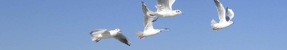Segeln Ostsee, Segelurlaub Ostsee Bild zeigt fliegende Möven