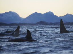 Wale in Norwegen zeigt Orcas