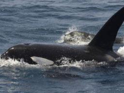 Wal Safari Bild zeigt Orcas