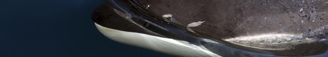 Wale und Delfine Bild zeigt einen Orca